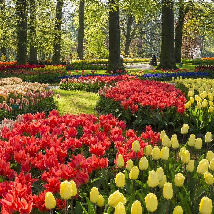 Colourful spring flowers at Keukenhof Park in Lisee