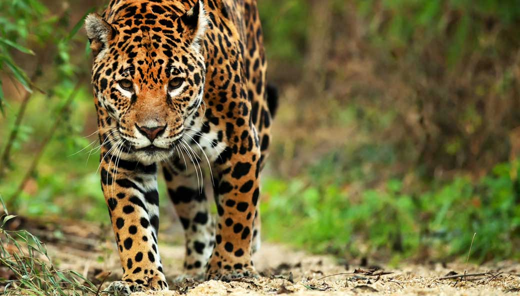 Jaguar sneaking through Brazilian jungle discover endangered species on your bespoke trip