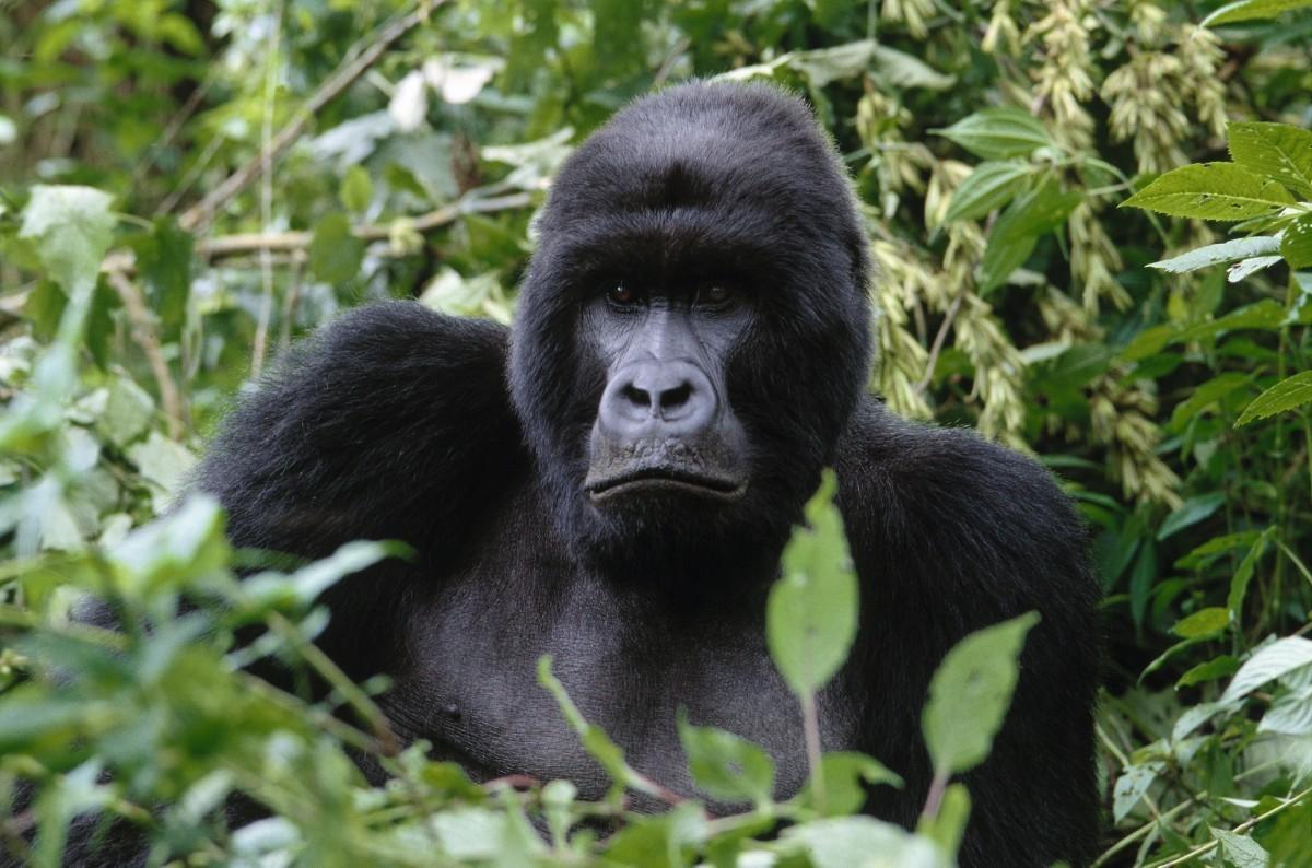 Gorilla in the jungle of Rwanda WWF's Virunga National Park