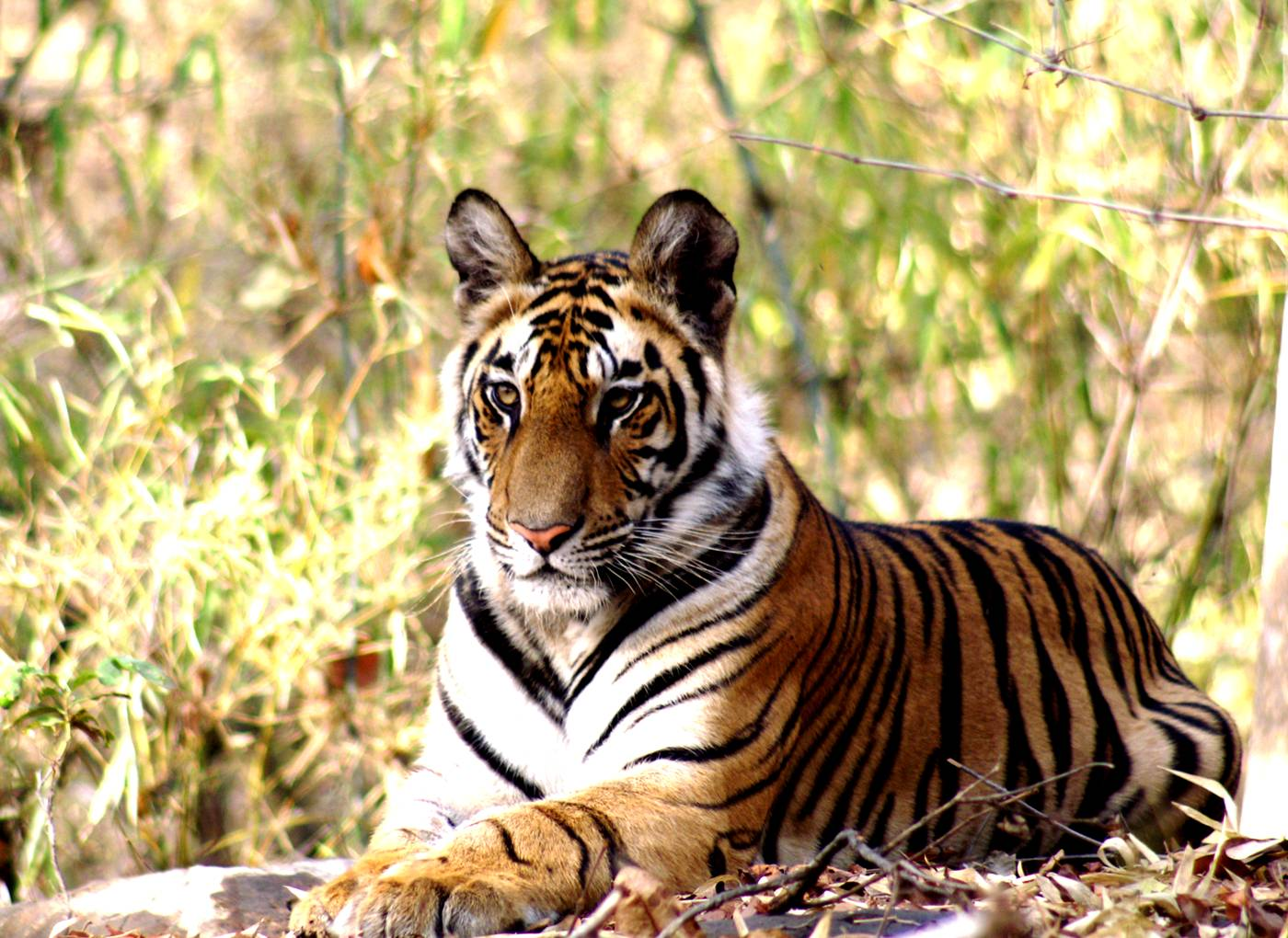Tiger in the brush king of the jungle discover India's vast biodiversity
