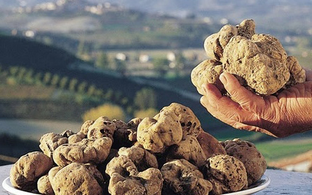 White Alba truffles exclusive truffle-hunting with a pig or dog in Italy for buried luxury treasure