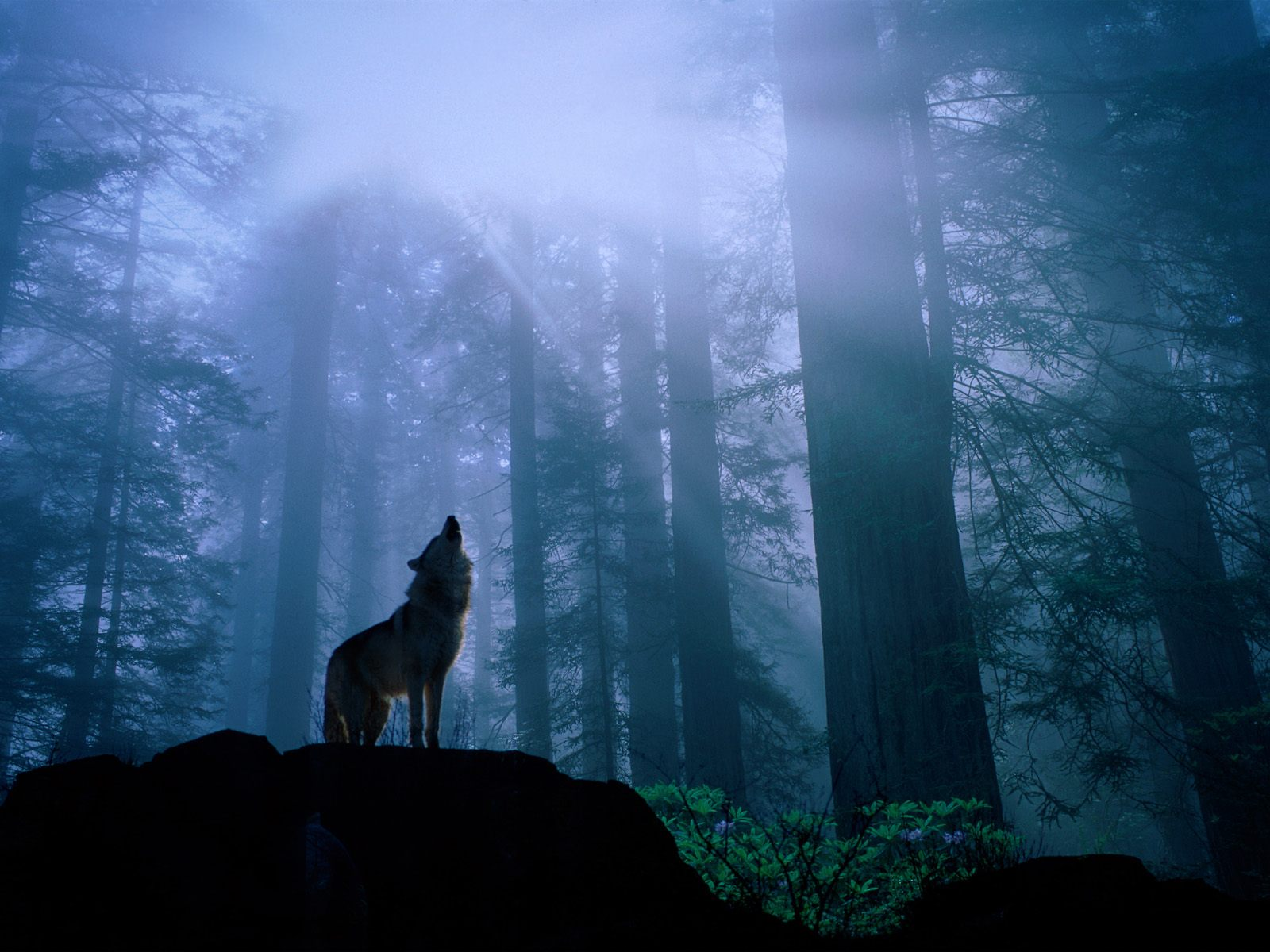 Lonely wolf hauling in the forest clearing at dawn