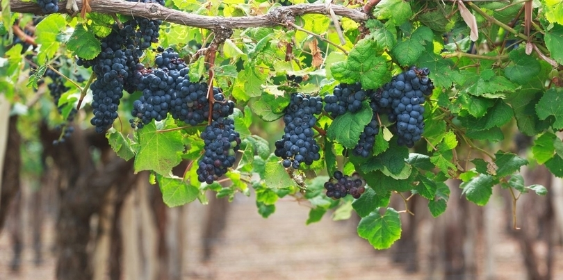 Bluw grapes from vineyard Mendoza in Argentina