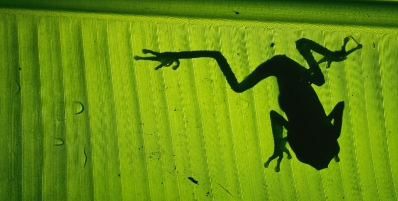 Shadow of a frog, Costa Rica