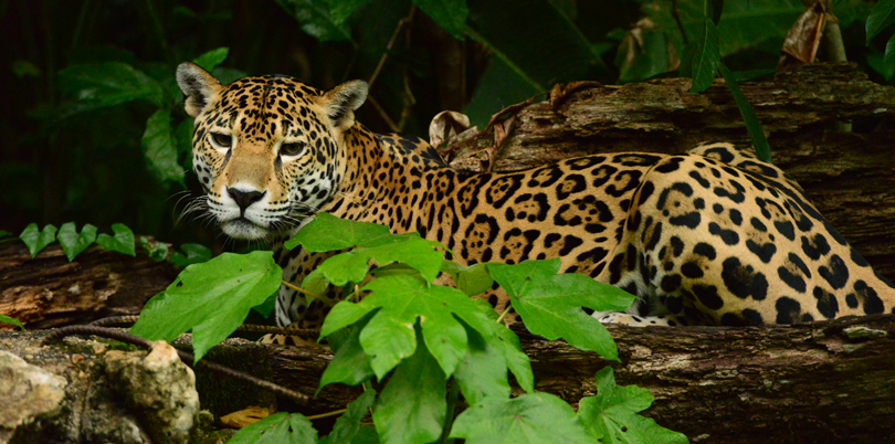 Jaguar on the lookout in the Belizean brush