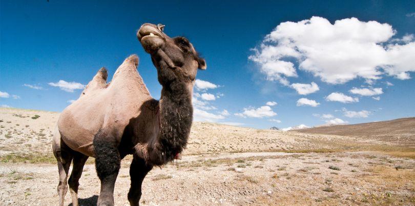Camel in the Wakhan Corridor, in Afghanistan
