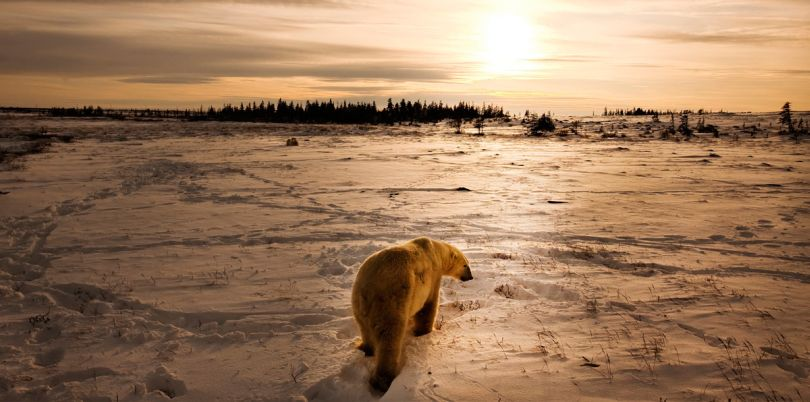 Polar bear in Churchill, Manitoba, Arctic