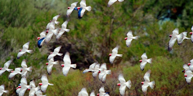 White birds with red heads flying around in Australia