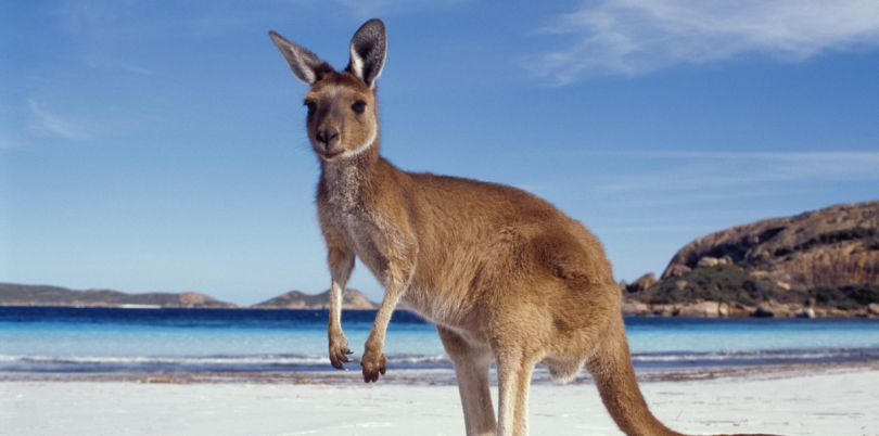 Kangaroo on the beach, Australia