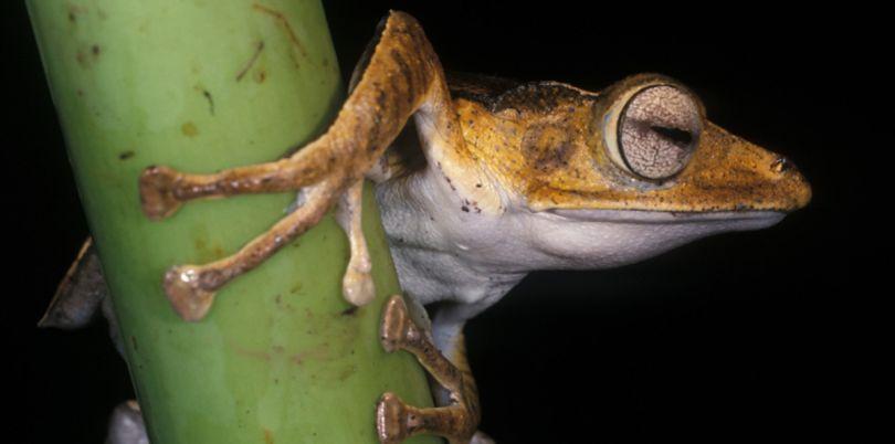 Frog at night, wildlife, Borneo