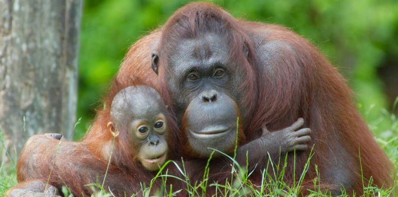 Borneo orangutan, mother and child, Borneo
