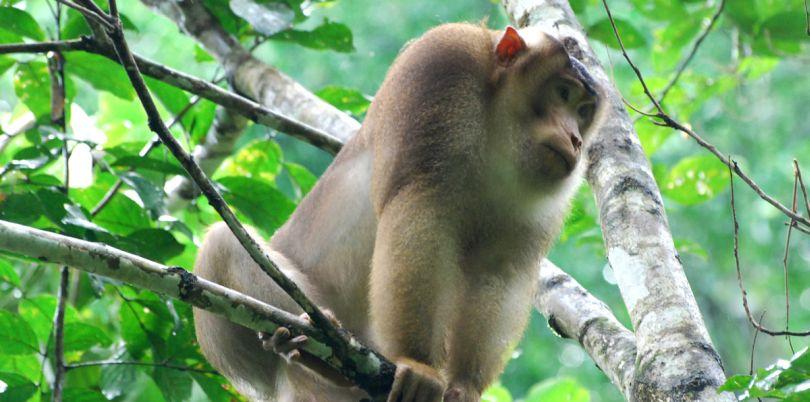 Monkey in the trees, Borneo