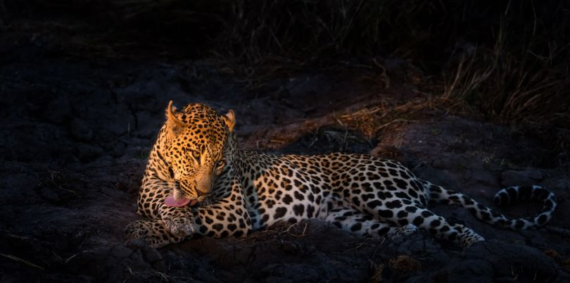 Leopard at night time spotted in Botswana