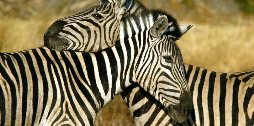 Two zebras hugging, Botswana
