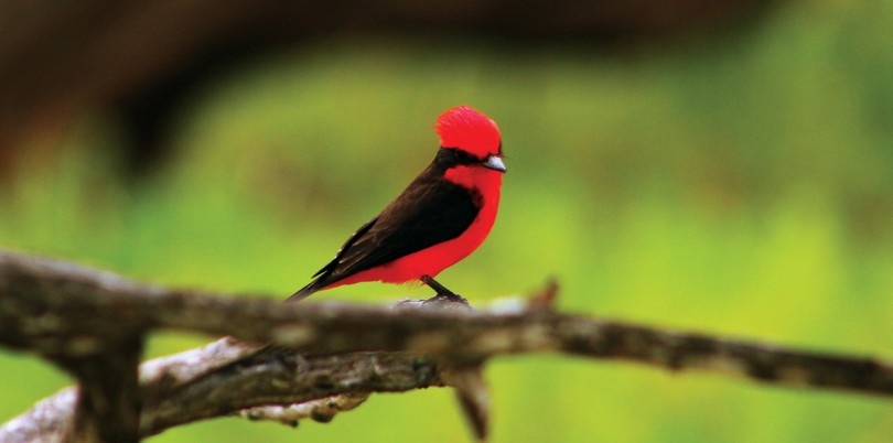 Red and black feathered bird in the Colombian jungle