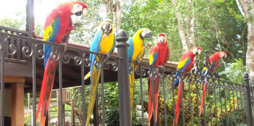 Red Macaws in a line, Costa Rica
