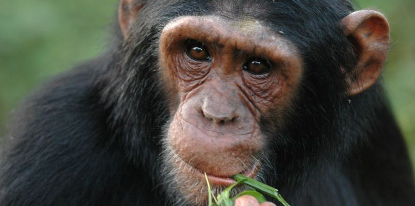 Chimpanzee eating bamboo in the Democratic Republic of Congo