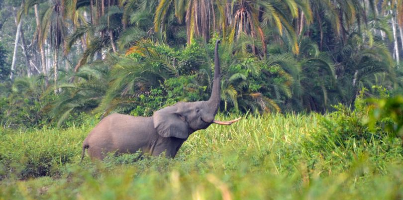 Elephant calling in the jungle of Democratic Republic of Congo