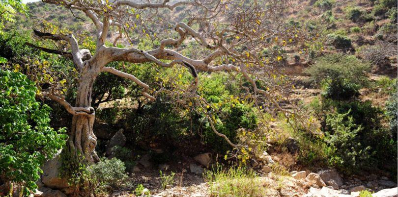 Tree in the desert in Ethiopia