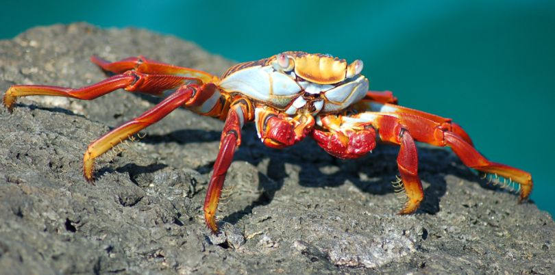 Orange crab on a rock in the Galapagos Islands, Ecuador