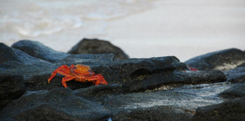 Crab walking away from the camera, Glapagos Islands, Ecuador