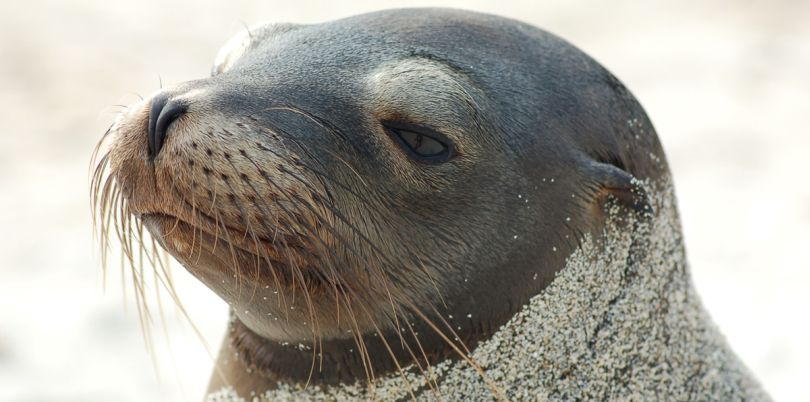 Sealion covered in sand, Galapagos Islands, Ecuador