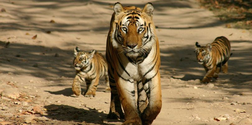 Tiger and her cubs walking down a road, India