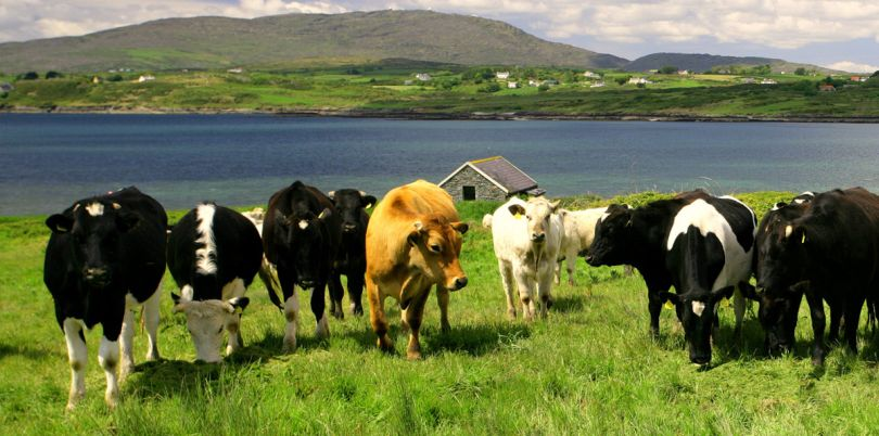 Connemara Cows, Ireland