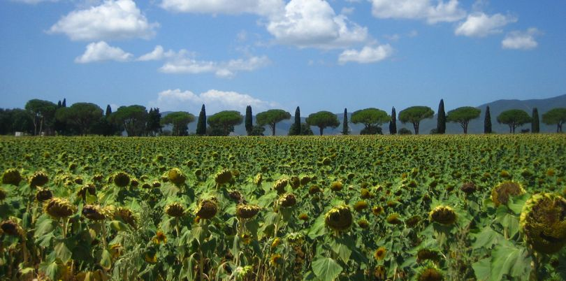 Field of sunflowers in Tuscany Italy