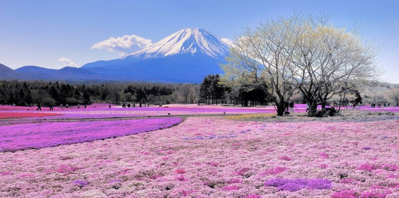Pink fields in the shadow of a mountain, Japan