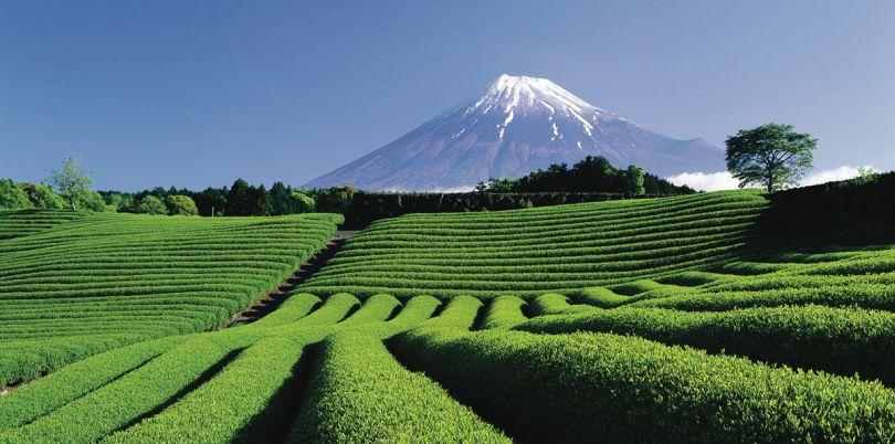 Tea plantation, Japan