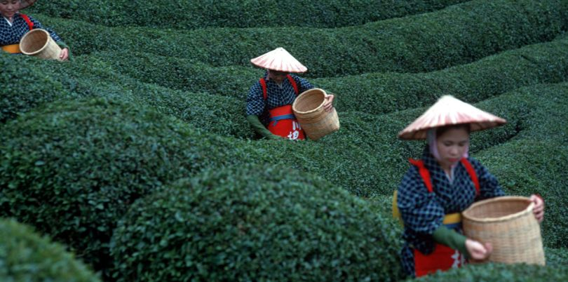 Tea picking from a plantation in Japan