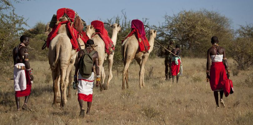 Camels following people, Kenya