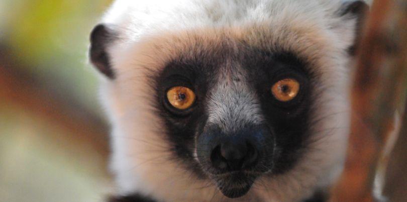 Lemur in a tree, Antananarivo, Madagascar