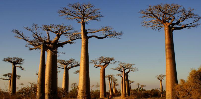 Trees in Madagascar, Madagascar