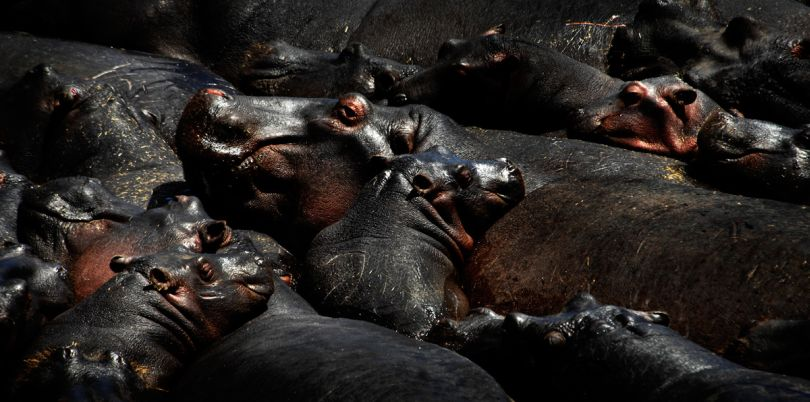 Hippos in a waterhole, Malawi