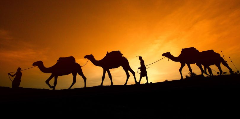 Camels in the sunset walking, Morocco
