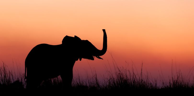 Elephant trumping in the sunset, Mozambique
