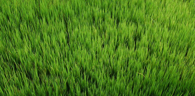 Blades of grass, Myanmar