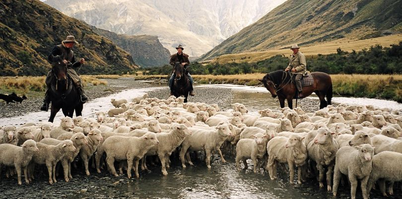 Horseback farming cowboys with sheep in New Zealand