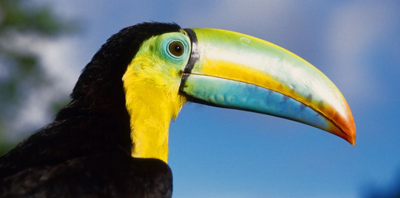 Close up shot of a toucan bird, Panama