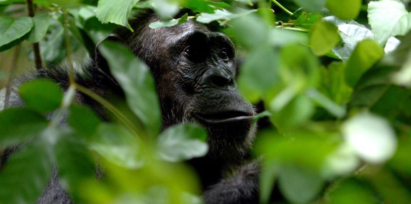 Chimp through the trees, Rwanda