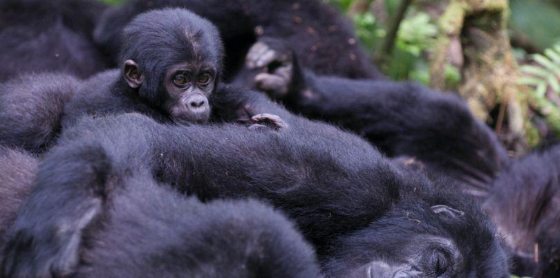 Sleeping gorilla family in Rwanda
