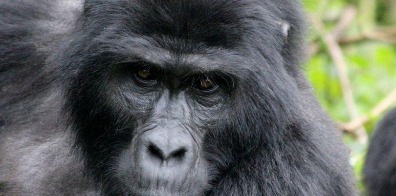 Close up of a silverback gorilla in Rwanda