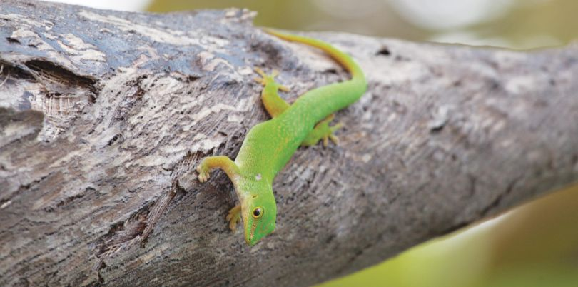 Little green lizard in the Seychelles