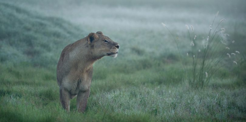 Lioness on the hunt in the mist in South Africa
