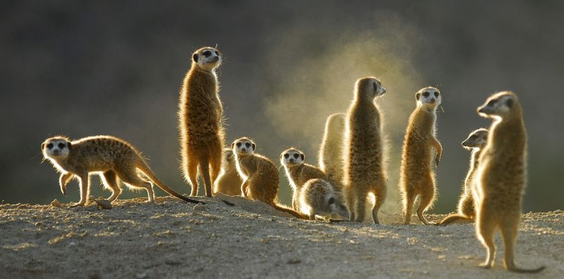 Family of merekats in South Africa