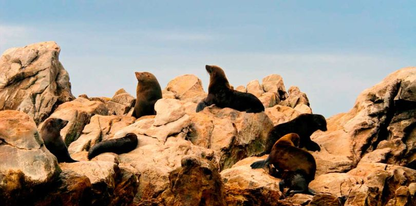 Sealions on rocks in South Africa