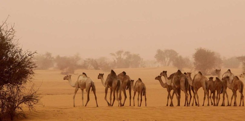 Camels in the steppe of South Sudan