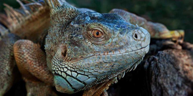 Iguana in Spain